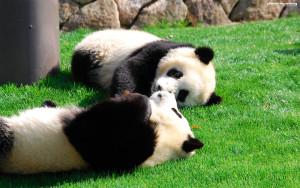 panda02-1280x800